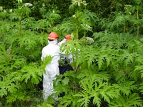 Giant Hogweed image